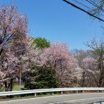 青葉緑地の桜(周辺)